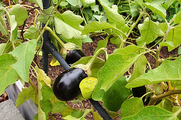 eggplant growing in a raised bed
