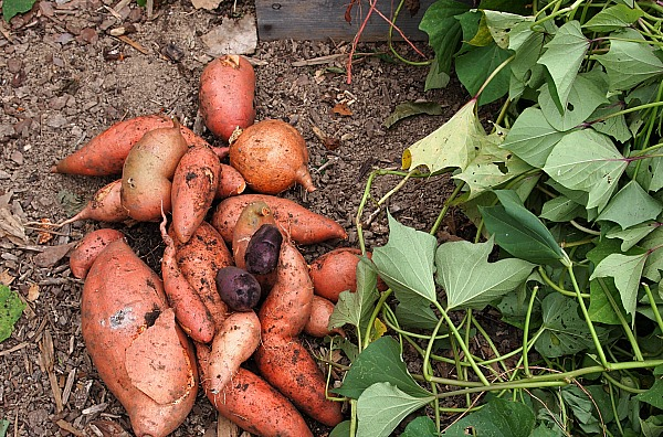 homegrown sweet potatoes