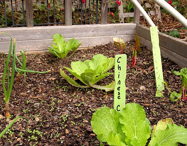 chinese cabbage companion planted with swiss chard and onions