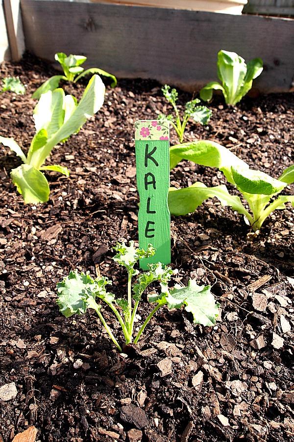 kale seedling growing in a raised bed