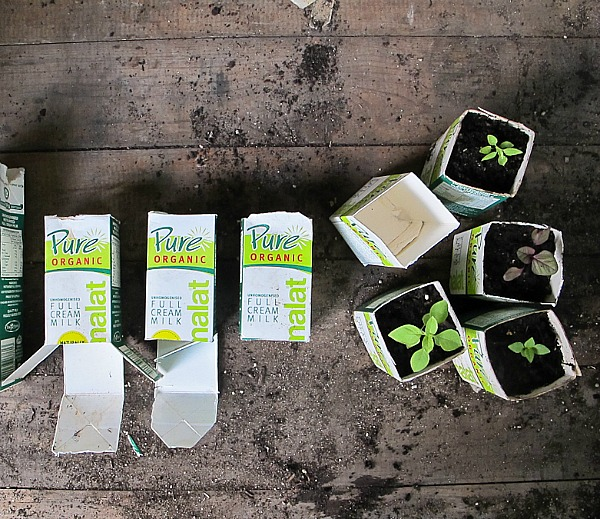10 DIY Seed Starting Ideas- Milk Cartons- Start your seeds the frugal way with these 10 DIY upcycled seed starting containers! So many inexpensive everyday items can make great seed starters! | DIY seed starting container hacks, how to start seeds, frugal gardening, save money on gardening, gardening tips, upcycled seed starting containers, gardening hacks #gardening #seedStarting #ACultivatedNest