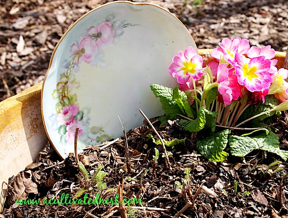 potted primrose with flowered plate