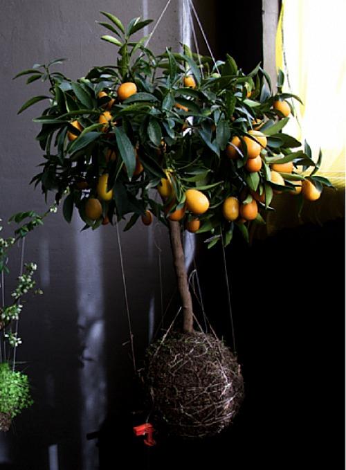 Citrus string garden by Feder van der Falk