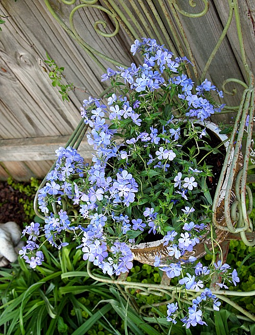 Pretty blue phlox growing in a container - cottage garden