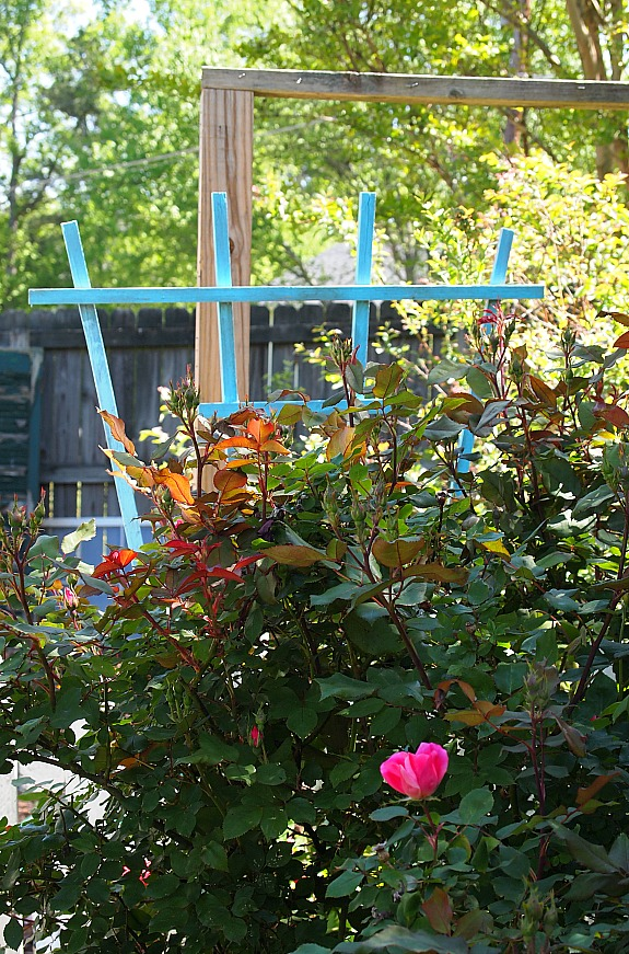 blue trellis behind a pink Knockout Rose
