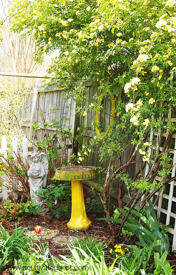 Yellow birdbath and yellow Lady Banks Rose