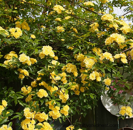 Lady Banks Rose - yellow blossoms