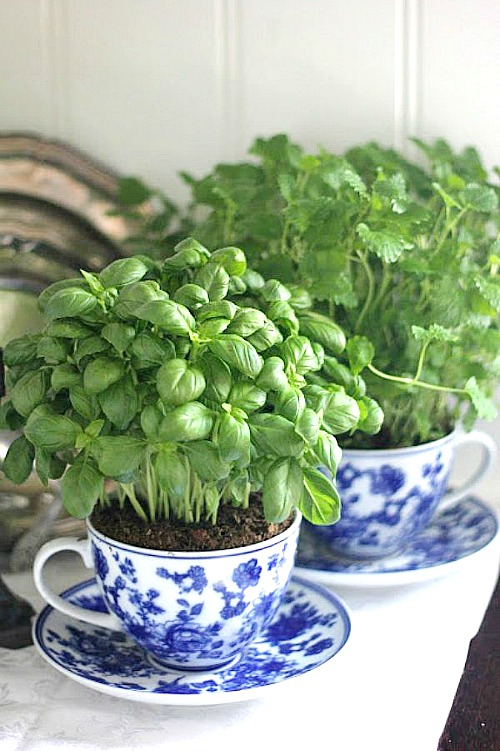 basil growing in a teacup