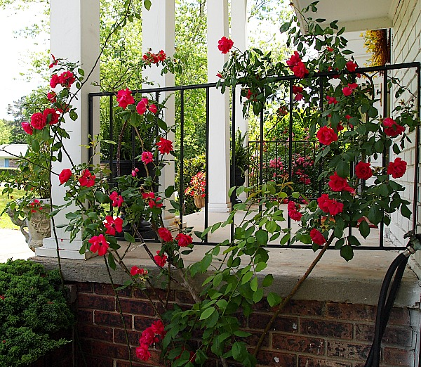 climbing roses on the front porch