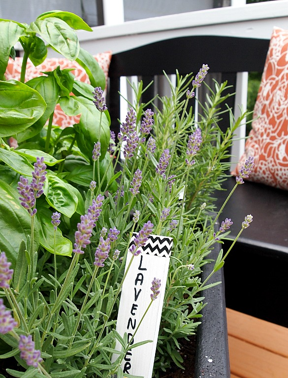 Tips for planting a container herb garden - Growing lavender pot ...