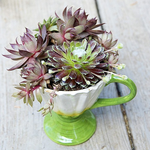 succulents planted in a tea cup