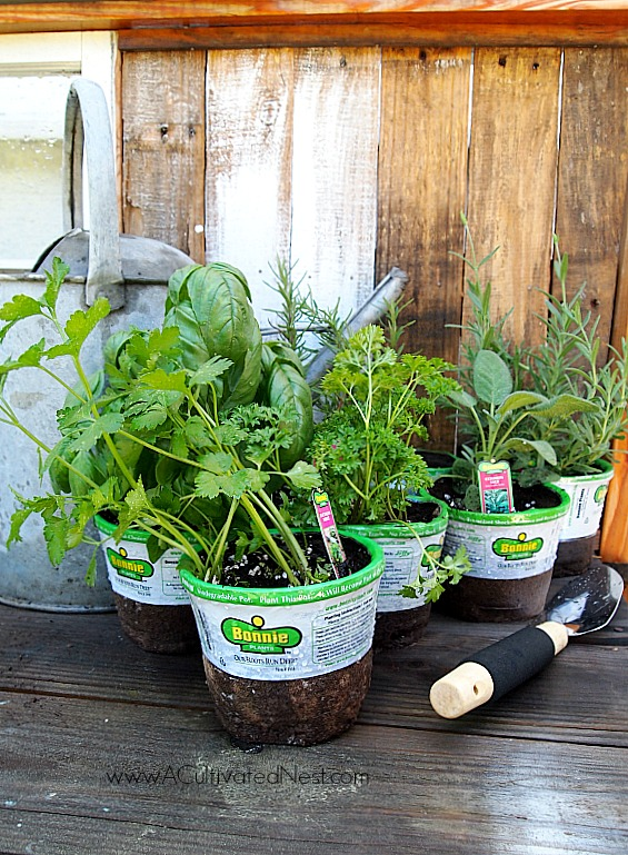 Using transplants for a container herb garden