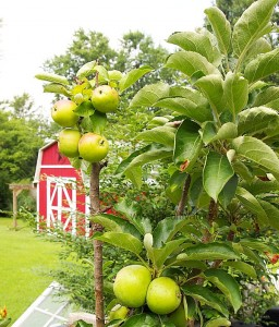 Columnar apple trees are great for balconies, patios or urban gardens where you don't have room to plant a tree in the ground.