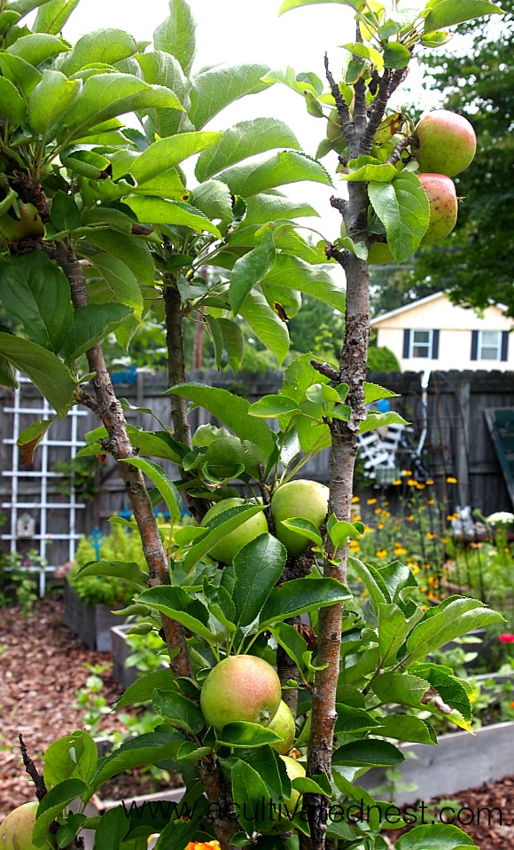 Apple Trees That Grow In Pots! Columnar apple trees are great for balconies, patios or urban gardens where you don't have room to plant a tree in the ground.