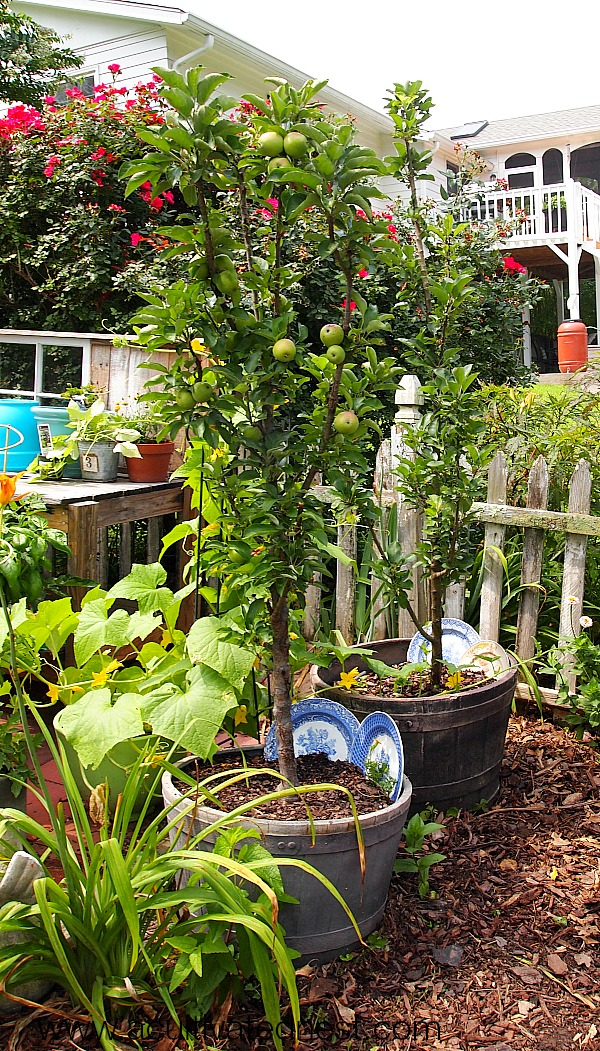 columnar apple trees grow up not out. Making them perfect for small space garden areas!