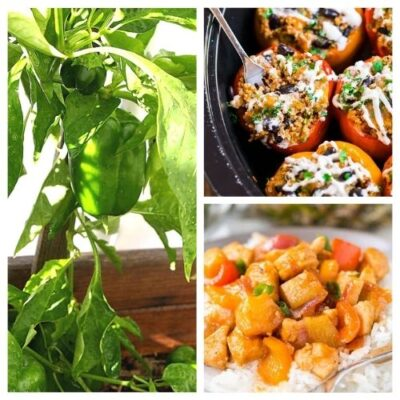 How To Grow Bell Peppers and 10 Delicious Bell Pepper Recipes