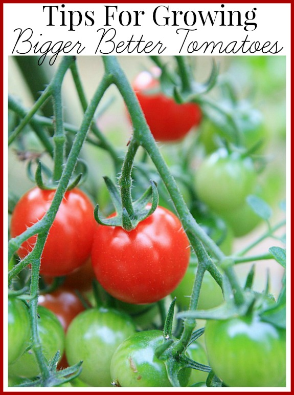 Tips for growing bigger healthier tomatoes
