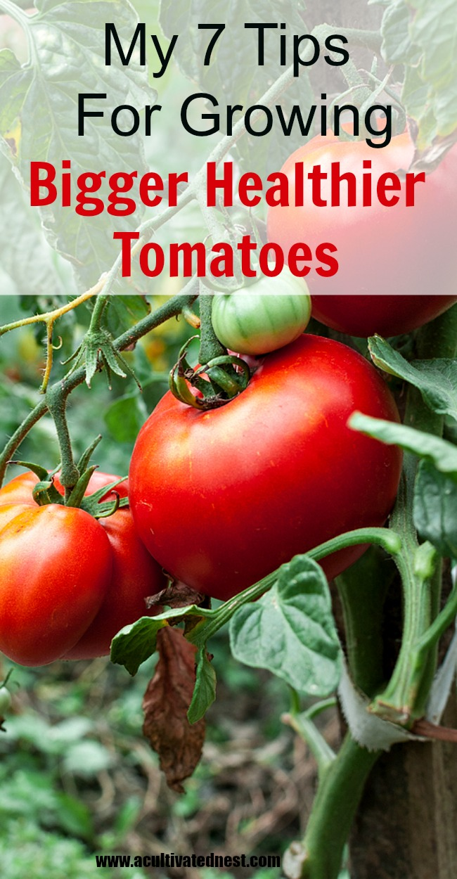 My tips for growing bigger healthier tomatoes
