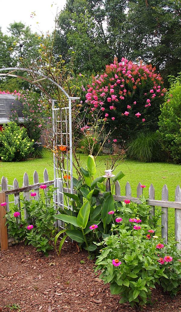 zinnias growing in the vegetable garden
