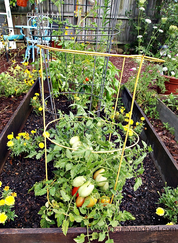 tomatoes planted in a raised bed with marigolds and basil