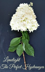 The perfect hydrangea - growing Limelight Hyrandreas