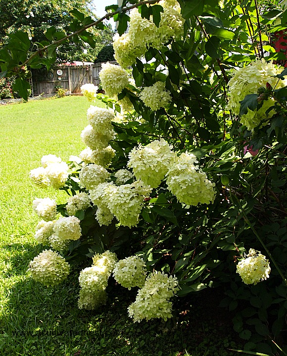 Awesome Limelight Hydrangea!
