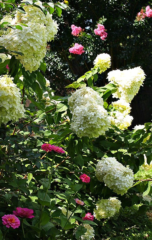 Growing Limelight hydrangeas - My Limelight planted with pink zinnias and pink crepe myrtles