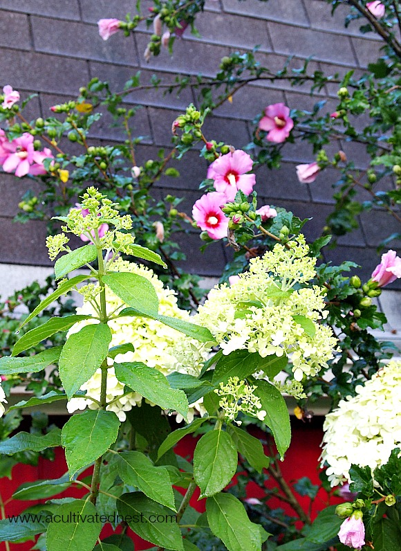 young Limelight Hydrangea blooms