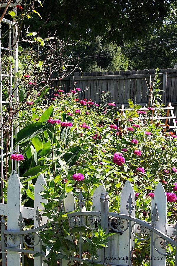 zinnias behind a garden gate