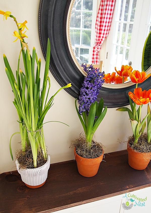 Potted daffodils, hyacinth, & orange tulips