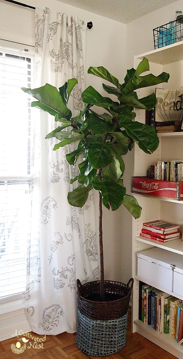 Fiddle Leaf Fig Tree in  painted basket