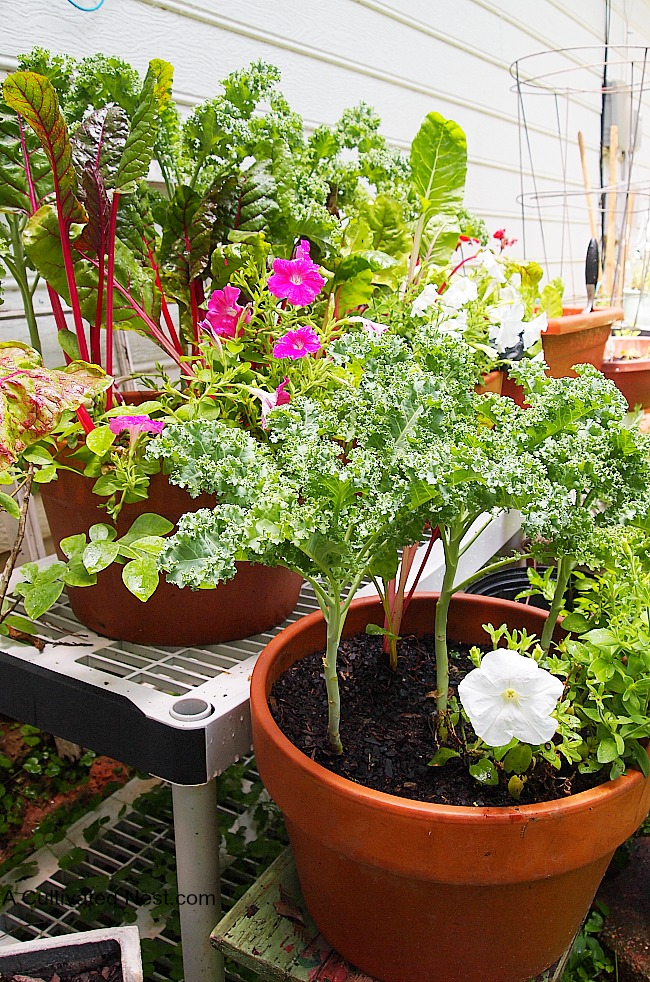Container Ve able Gardening Kale Grown In A Container