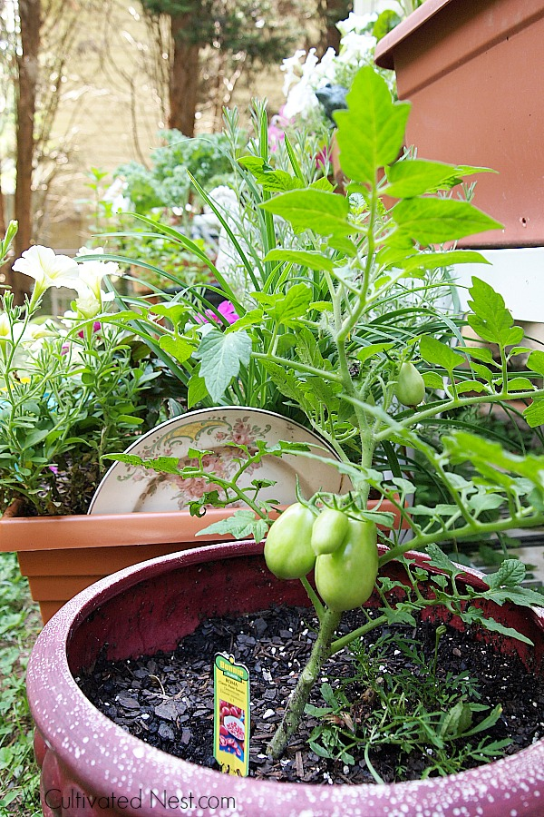 Container Vegetable Garden | Tomatoes growing in a container