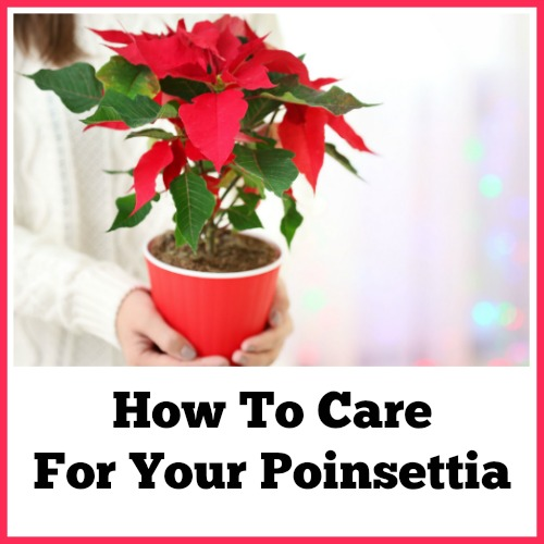 How To Care For Your Poinsettia Poinsettias Are Known Being A Bright Spot Of