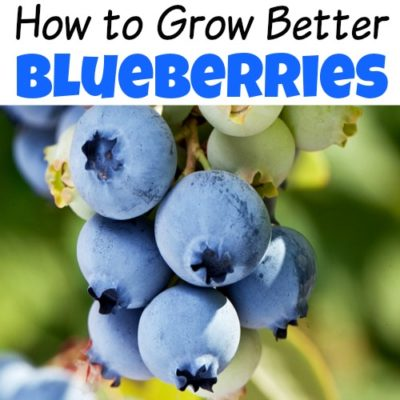 6 Tips to Help You Grow Better Blueberries