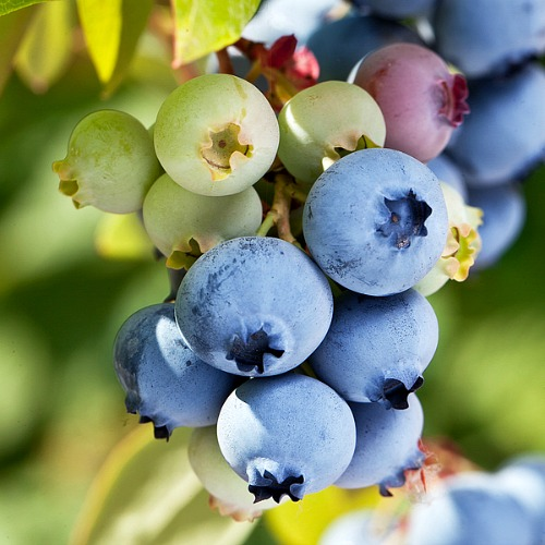 Homegrown blueberries are so tasty! If you're adding blueberry bushes to your garden this year, you need these 6 tips to help you grow better blueberries!