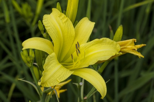 Perennials for the Lazy Gardener - Easy perennials to grow like daylillies
