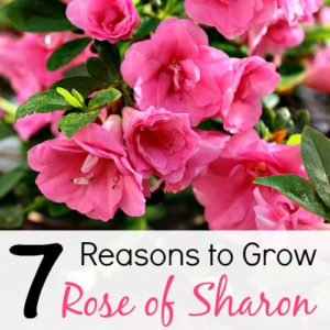 7 Reasons to Grow Rose of Sharon