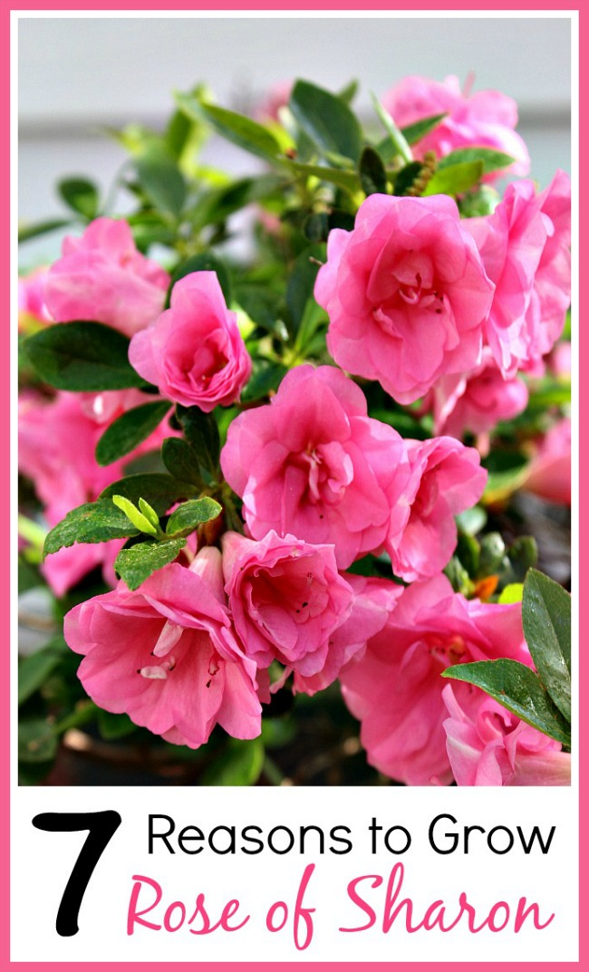 Rose of Sharon is an easy to grow and beautiful perennial! Plus it has many benefits for your yard! Check out these reasons to grow Rose of Sharon!