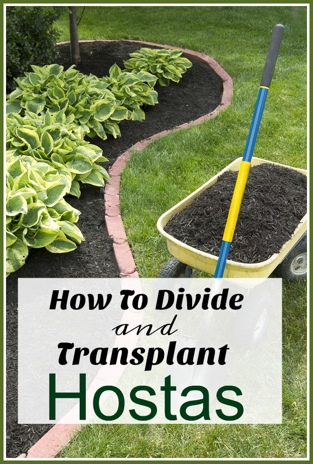 How To Divide & Transplant Hostas