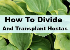 How to Divide & Transplant Hostas in Your Yard