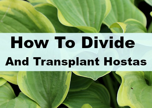How To Successfully Divide Transplant Hostas In Your Yard