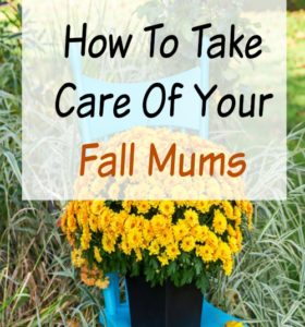 How to Take Care of Your Mums (Indoors and Out)