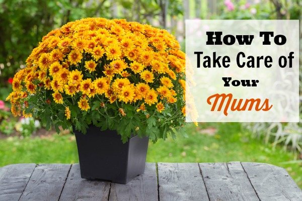 How To Take Care of Mums - If you've got a new bunch of mums and you want to make sure they can grow well and look their best, then you'll like these tips on How to Take Care of Your Mums (Indoors and Out)!