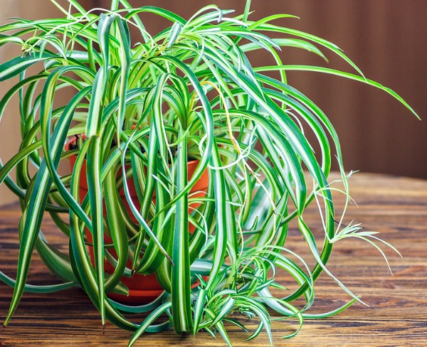 Plants that purify the air in your home - you definitely want to reduce the toxins in your home's air! A natural (and inexpensive) way to do this is with indoor plants! Here are 6 Great Houseplants for Air Purification! All of these plants are very easy to find at your big box store or plant centers (in the indoor plant section).   air purifying plants, frugal living, indoor gardening, healthy living tips, plants that clean your air, air-cleaning plants
