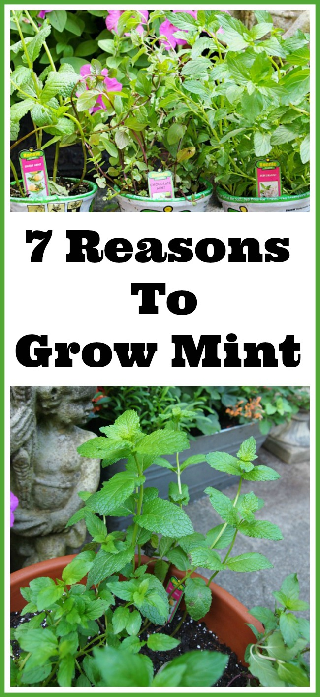 7 Reasons To Grow Mint