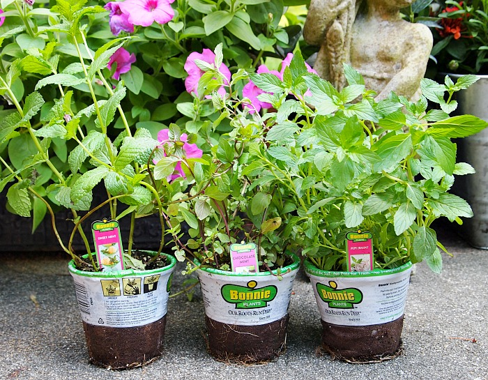 7 Reasons You Should Grow Mint - Mint is one of the easiest herbs to grow and one of the most versatile to use, which is why many gardeners consider it a staple plant in their yards. Here are 7 reasons you should grow mint, so you can see all that this sweet little herb has to offer you. You might just find that mint is one of the best herbs you can grow! Gardening, Herb Gardening, Container Gardening, What can you do with mint
