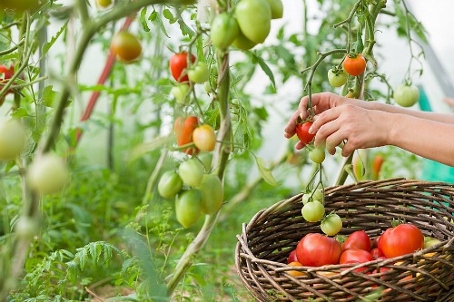 Frugal Vegetables Your Grandma Used to Grow in Her Garden- Tomatoes. | #backyardGarden #saveMoney #frugal #growYourOwn #vegetables #frugalLiving #moneySaving #moneySavingTips #gardening #garden