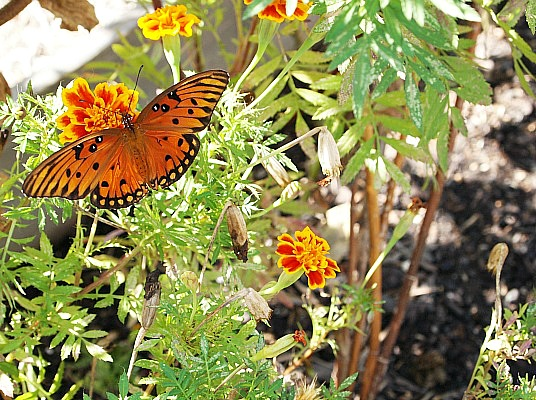 How to Build a Butterfly Garden- Butterfly gardens are beautiful, fun to build, and a great way to help out your local butterfly populations! If you want to build a butterfly garden in your yard, check out this guide! Getting started is a lot easier than you might think! | #butterflyGarden #gardening #garden #butterflies #butterfly #gardeningTips