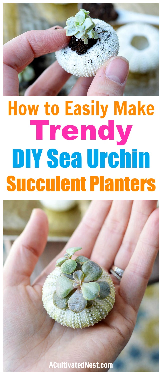 DIY Sea Urchin Succulent Planters- A lovely natural way to display your succulents is in sea urchin shells! Here is how to turn a bunch of empty shells into lovely DIY sea urchin succulent planters! This is such an easy craft, and the end result works great with beach themed decor! | indoor gardening, ways to decorate with succulents, #DIY #craft #succulent #beach